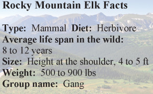 Elk_Facts