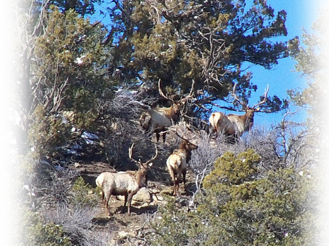 Bull Elk on a Ridge