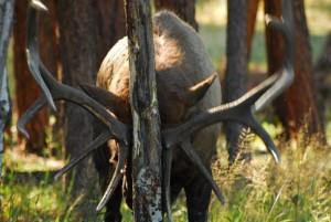 Null Elk RMNP2