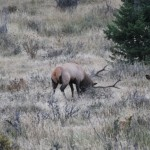 Bull Elk Thrashing the Vegetation