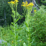 Arrowleaf Groundsel