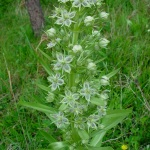 Flowering Elkweed