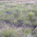 Elk Forage - Rough Fescue
